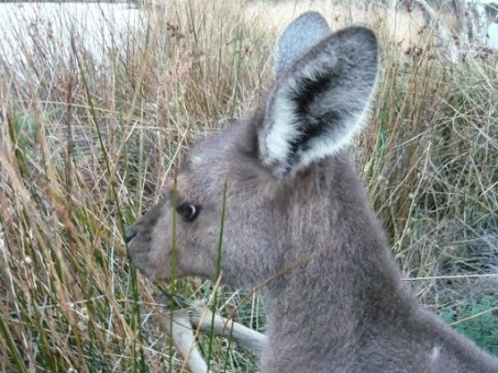 Wyspa kangurów
