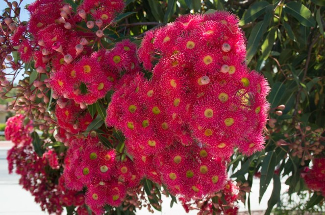 red-eucalypt-4
