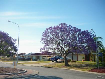 Jacaranda Perth