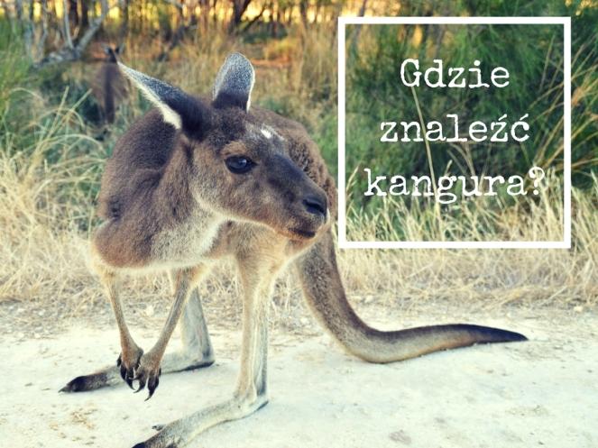 Gdzie znaleźć kangura_