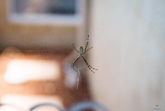 pająk australia