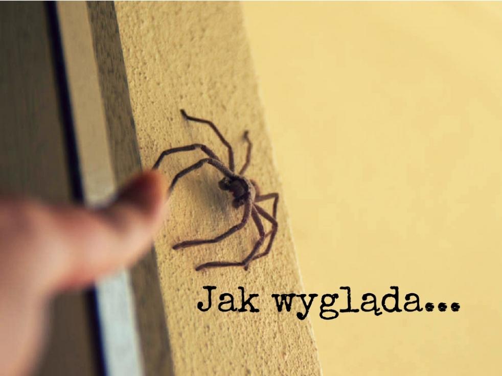 pająki Australia