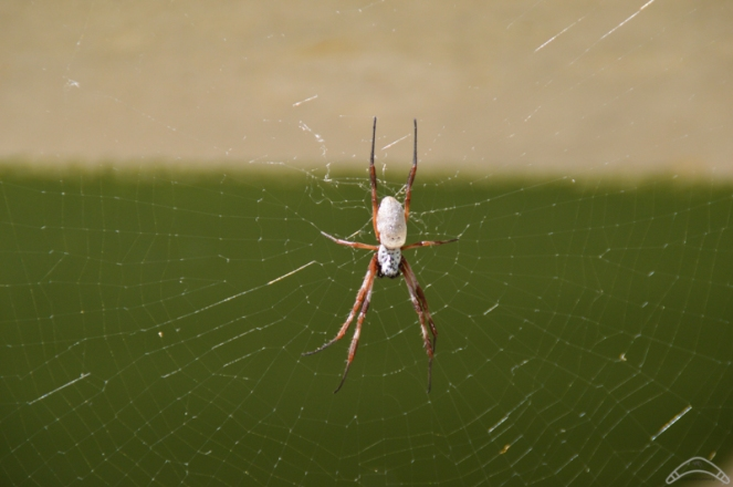 orb spider perth