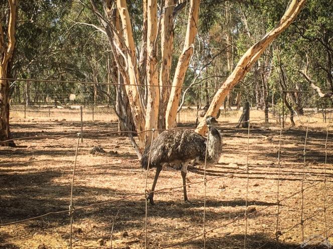 Toodyay Emu